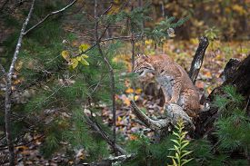 Bobcat (lynx Rufus) Sits On Root Bundle Looking Left Autumn - Captive Animal