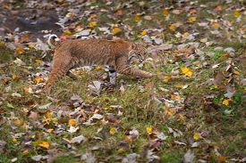 Bobcat (lynx Rufus) Stalks Right Autumn - Captive Animal
