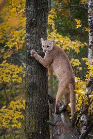 Cougar (puma Concolor) Stands With Front Paws On Tree Autumn - Captive Animal