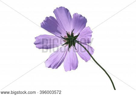 Cosmeya (cosmos) Purple On White Isolated Background Close Up