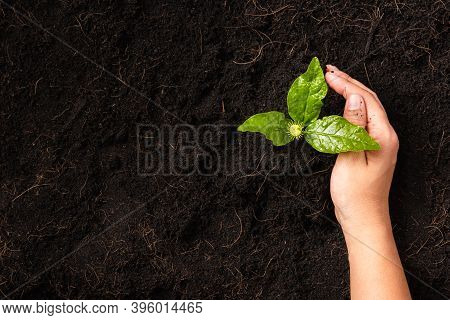 Hand Of A Woman Planting Green Small Plant Life On Compost Fertile Black Soil With Nurturing Tree Gr