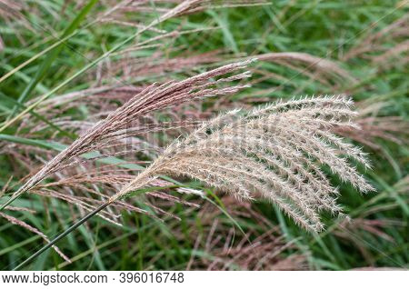 Close-up Of A Flowering Japanese Silver Grass Or Miscanthus Sinensis
