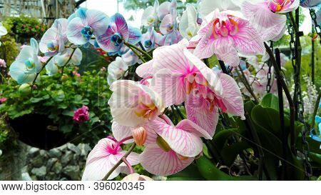 Amazing Beautiful Big Bunch Of Tropical Blooming Blue, White And Pink Orchid In The Flower Orangery