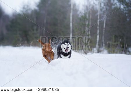 Two Dogs In The Winter In Nature. Active Hungarian Vizsla And Husky Running On The Snow