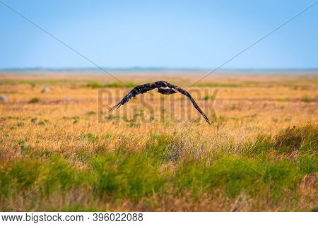 Flight Of Steppe Eagle Or Aquila Nipalensis.