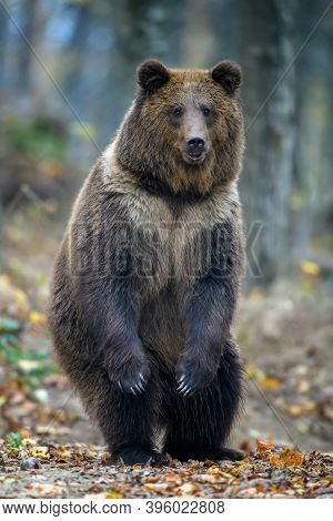 Brown Bear (ursus Arctos) Standing On His Hind Legs In Autumn Forest. Danger Animal In Nature Habita