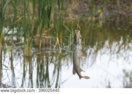 Freshly Caught Pike On Spinning Hook. Sport Fishing, Selective Focus, Close-up.