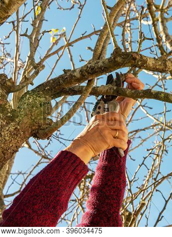 Close Up Of Gardener Pruning Trees With Pruning Shears