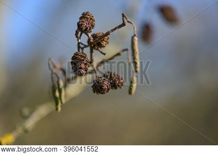 Cones And Catkins Of The Alder Tree (alnus), The Pollen Can Cause Allergies, Close Up Shot, Copy Spa