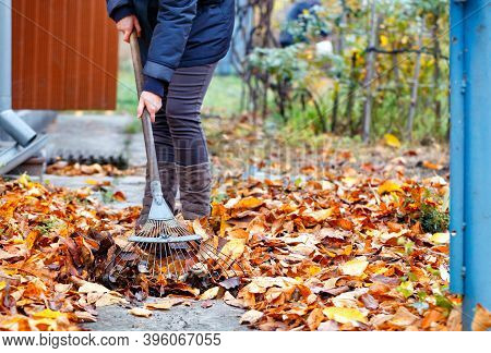 The Mistress Of The House Rakes The Fallen Yellow Leaves With A Metal Rake In The Autumn Garden.
