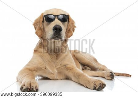 golden retriever dog lying down and being cool with his sunglasses against white background