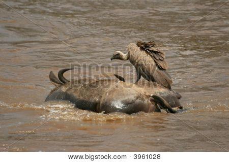 RüPpell'S Griffon Vulture On Carcass