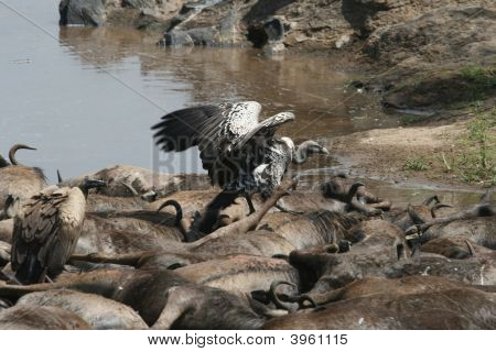 RüPpell'S Griffon Vultures On Carcasses