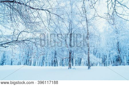 Winter landscape, snowy winter park, winter forest trees covered with frost and snow. Winter forest view, spreading winter trees in the winter park in cloudy weather