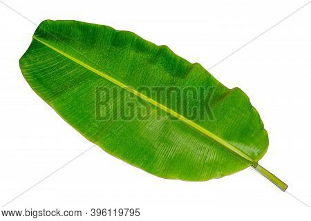 Banana Leaf, Green Leaves, Isolated On White Background, Clipping Paths