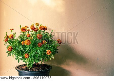 Marigold Flower Nature Blurred On Concrete Texture Background, Flower Abstract Background, Vintage S