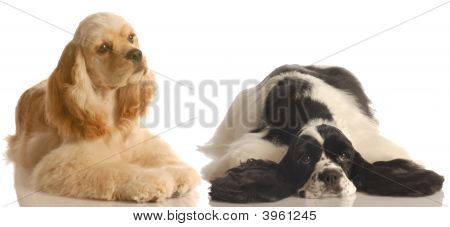 Cocker Spaniel Buff And Black And White