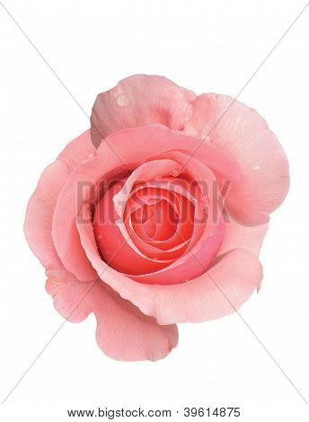 Pink Rose With Water Drops On White