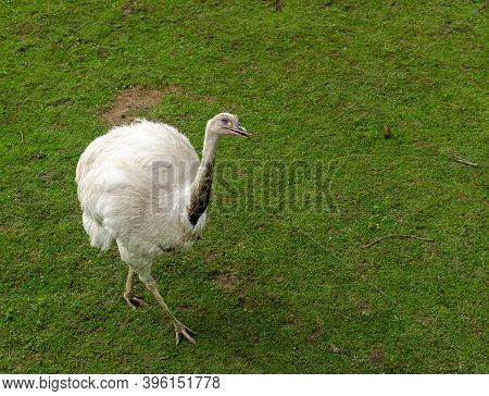 White Emu On A Green Grass In Spring