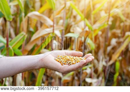 Handful Of Corn Kernels In Farmer Hands On Field Background Evening Sunset Time