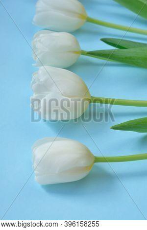 White Tulips Flowers On Light Blue Background.floral Card With White Spring Flowers. Floral Backgrou