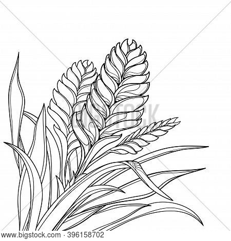 Vector Corner Bouquet Of Outline Tropical Vriesea Plant With Flower And Leaf In Black Isolated On Wh