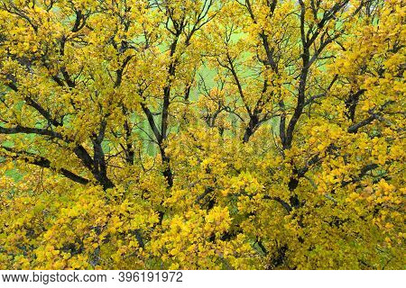 Yellow Oak Branches. Fall Background. Yellow Leaves On Tree In Autumn Morning.