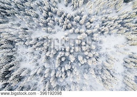 White Christmas Trees Covered With Snow In Frosty Morning From Above. Winter Woodland. Christmas Bac