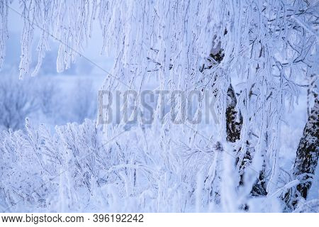 Tree Branches With Snow And Hoarfrost. Winter Background. Frosty Winter Morning. Christmas Backgroun