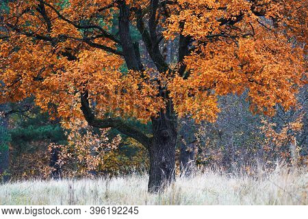 Oak With Yellow Leaves In Autumn Morning. Yellow Oak In Autumn Landscape.