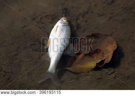Killing Fish By Illegal Fishing. Environmental Disaster For The Water Environment. Death Of Fish In