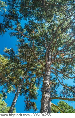 Looking Up Through The Old Growth Pine Trees Loaded With Pinecones With The Bright Sunlight Shining
