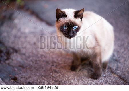 Seam Cat With Blue Eyes, Dark Face, Years And Lags Sitting In The Street. Confident Glance Straight