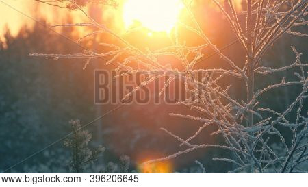 cy frosted tree branches in cool snow winter forest lit by sunshine. Closeup, shallow DOF