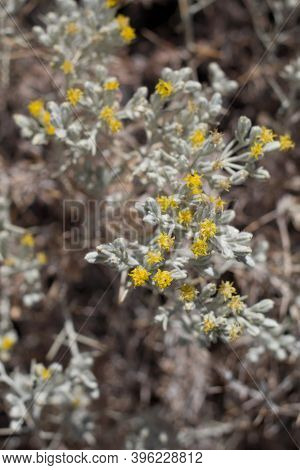 Yellow Blooming Discoid Head Inflorescences Of Mojave Cottonthorn, Tetradymia Stenolepis, Asteraceae