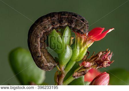Caterpillar Eating A Red Flower