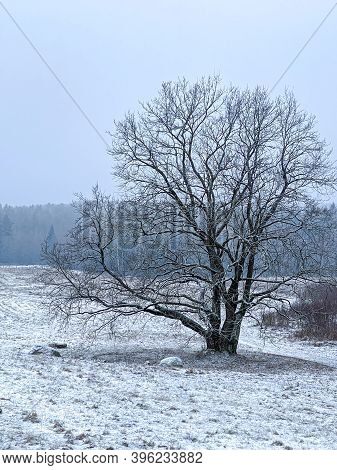 Big Tree Covered With Hoar Frost On Snowy Meadow. Winter Scene On A Misty Day.