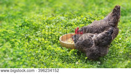 Hens Peck Grain From A Bowl On The Green Grass
