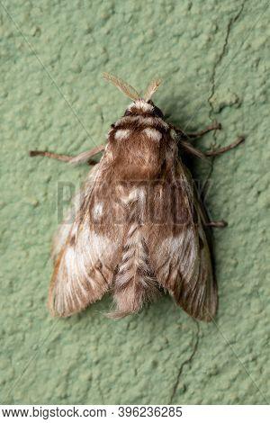 Brazilian White Moth