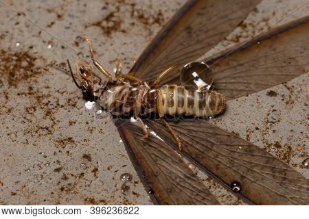 Adult Higher Termite Of The Family Termitidae