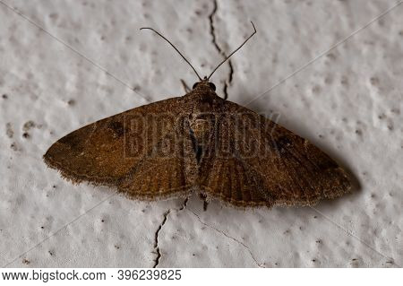 Adult Brown Moth Of The Order Lepidoptera