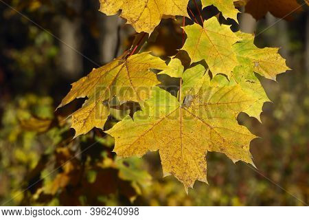 Yellow Maple Leaves Close Up. Wildlife Background. Horizontal, Cropped Image, Free Space.