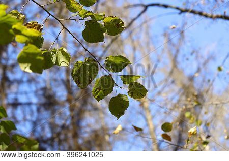 Autumn Background. Texture Of Withering Green Leaves Against A Blue Sky. The Sun's Rays Fall On The