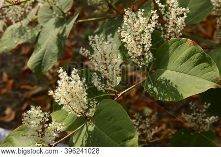 Vegetable Background. The Sun's Rays Fall On The White Inflorescences Of Polygonum. Green Branch Of