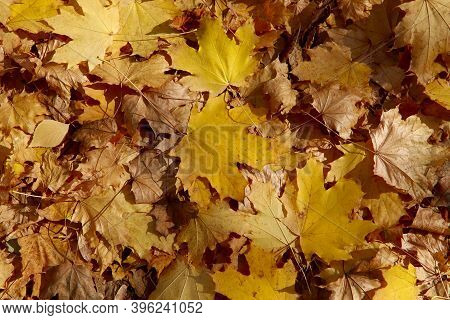 Autumn Background. Background Of Yellow Maple Leaves Lying On The Ground. Wildlife Background. Horiz