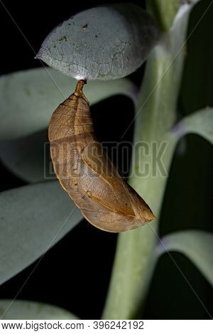 Brazilian Butterfly Cocoon Of The Order Lepidoptera