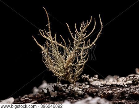 Small Beard Lichen Of The Genus Usnea