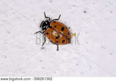 Convergent Lady Beetle Of The Species Hippodamia Convergens