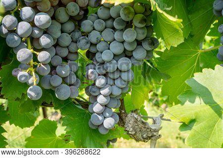 Bunch Of Fresh Dark Black Ripe Grape Fruit On Green Leaves Under Soft Sunlight In Vineyard At The Ha