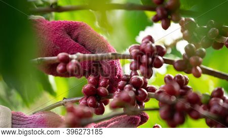 Close-up Arabica Coffee Berries With Agriculturist Hands